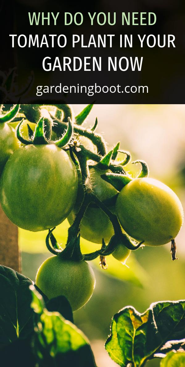 Why Do You Need Tomato Plant in Your Garden Now