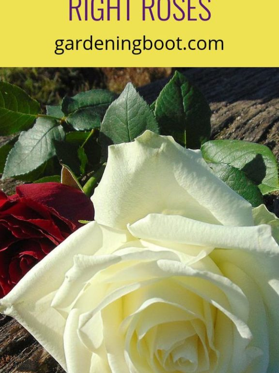 A Comprehensive Guide to Choosing the Right Roses