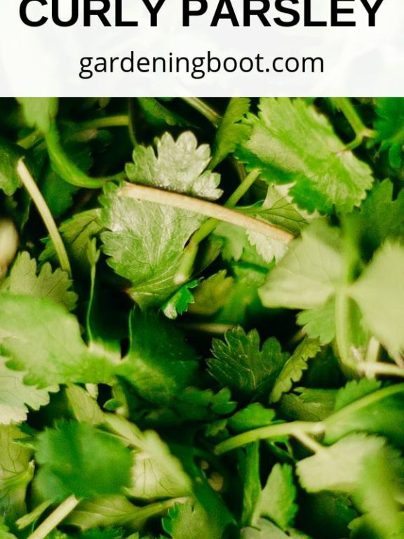 Your Fantastic Guide for the Curly Parsley