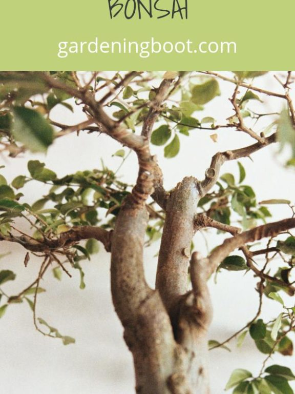 Learn More About the Art of Japanese Bonsai