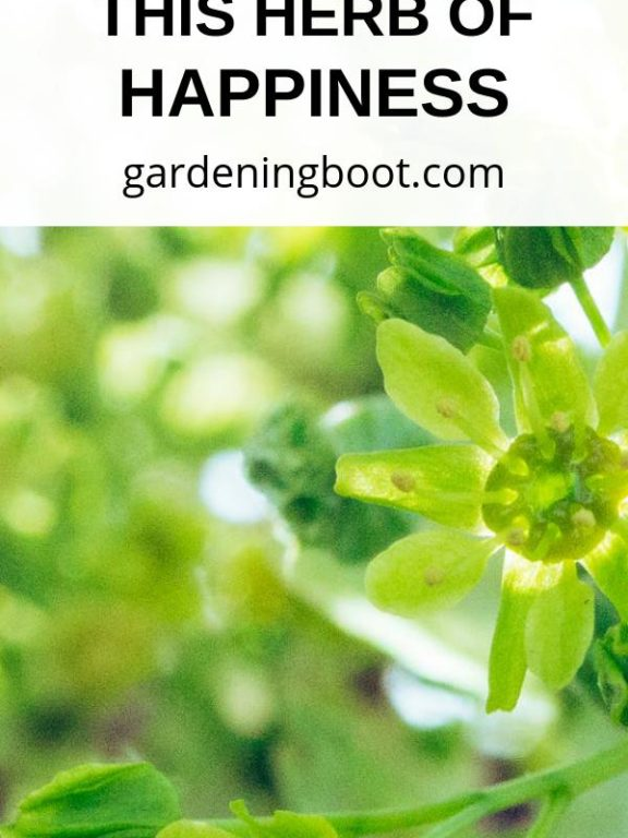 Marjoram – What You Need to Know About This Herb of Happiness